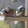 Blue Jays <br /> Bridgeton, MO <br /> 12/05/16
