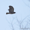Red-tailed Hawk <br /> Busch Wildlife Conservation Area