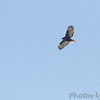 Red-tailed Hawk <br /> Darst Bottom <br /> St. Charles County, MO