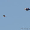 Red-tailed Hawk and Bald Eagle <br /> Darst Bottom <br /> St. Charles County, MO