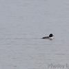 Hooded Merganser/Goldeneye hybrid <br /> and Ruddy Ducks <br /> upper Ellis Bay  <br /> Riverlands Migratory Bird Sanctuary