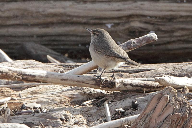 Rock Wren <br /> Maple Island Road <br /> Riverlands Migratory Bird Sanctuary