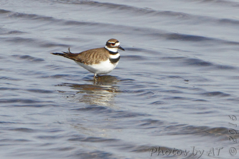 Killdeer <br /> Ellis Bay <br /> Riverlands Migratory Bird Sanctuary