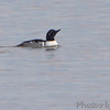 Hooded Merganser/Goldeneye hybrid <br /> upper Ellis Bay  <br /> Riverlands Migratory Bird Sanctuary