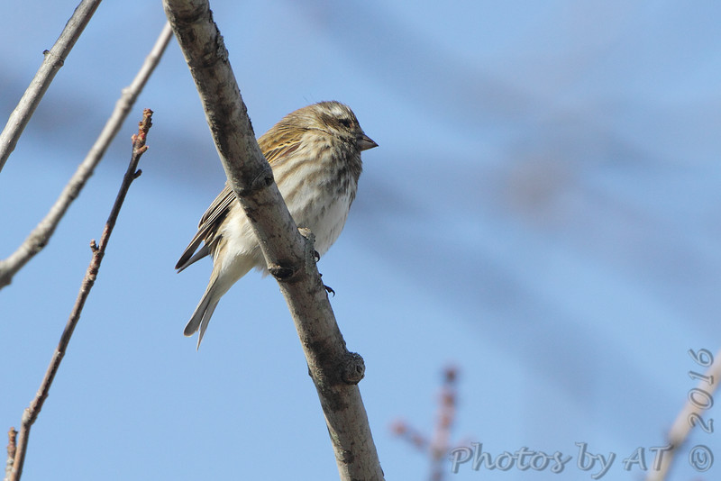 Purple Finch <br /> Brashear, MO