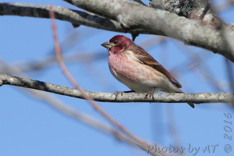 Purple Finch <br /> Brashear, MO