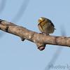 American Goldfinch <br /> Brashear, MO
