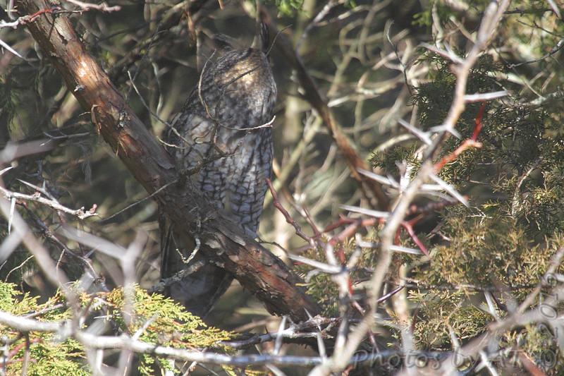 Long-eared Owl <br /> Brashear, MO
