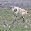 Whooping Cranes <br /> Kaskaskia Island, Illinois