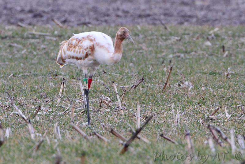 Whooping Crane <br /> Kaskaskia Island, Illinois