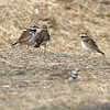 Killdeer <br /> Duck Creek Conservation Area