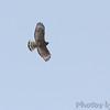 Red-shoulder Hawk <br /> Duck Creek Conservation Area