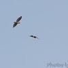 Red-shouldered Hawks <br /> Duck Creek Conservation Area