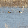 American Wigeon <br /> Duck Creek Conservation Area