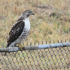 Red-tailed Hawk <br /> at rest stop on Interstate 55