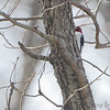 Red-headed Woodpecker <br /> Duck Creek Conservation Area