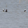 Bufflehead <br /> Duck Creek Conservation Area
