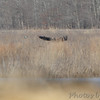 Bald Eagle <br /> Duck Creek Conservation Area