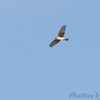 Northern Harrier <br /> Duck Creek Conservation Area