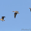 Greater White-fronted Geese <br /> Duck Creek Conservation Area