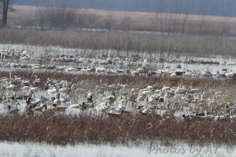 Snow Geese and Greater White-fronted Geese <br /> Duck Creek Conservation Area