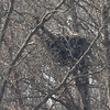 Bald Eagle on nest <br /> Mingo National Wildlife Refuge