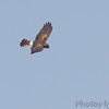 Northern Harrier <br /> Mingo National Wildlife Refuge