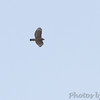 Red-shouldered Hawk <br /> Duck Creek Conservation Area