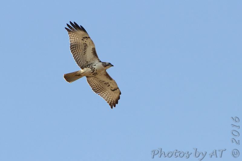 Red-tailed Hawk <br /> Duck Creek Conservation Area