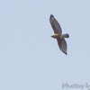 Red-shoulder Hawk <br /> Duck Creek Conservation Area
