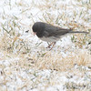 Dark-eyed Junco ''Cassiar'' <br /> Bridgeton, MO <br /> 2/09/16