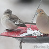Northern Mockingbird <br /> Bridgeton, MO <br /> 2/10/16