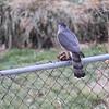 Cooper's Hawk <br /> Bridgeton, MO <br /> 2/08/16