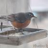 American Robin <br /> Bridgeton, MO <br /> 2/08/16