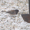 Dark-eyed Junco (Oregon) ?<br /> Bridgeton, MO <br /> 2/09/16