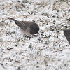 Dark-eyed Junco (Oregon) ? <br /> Bridgeton, MO <br /> 2/09/16