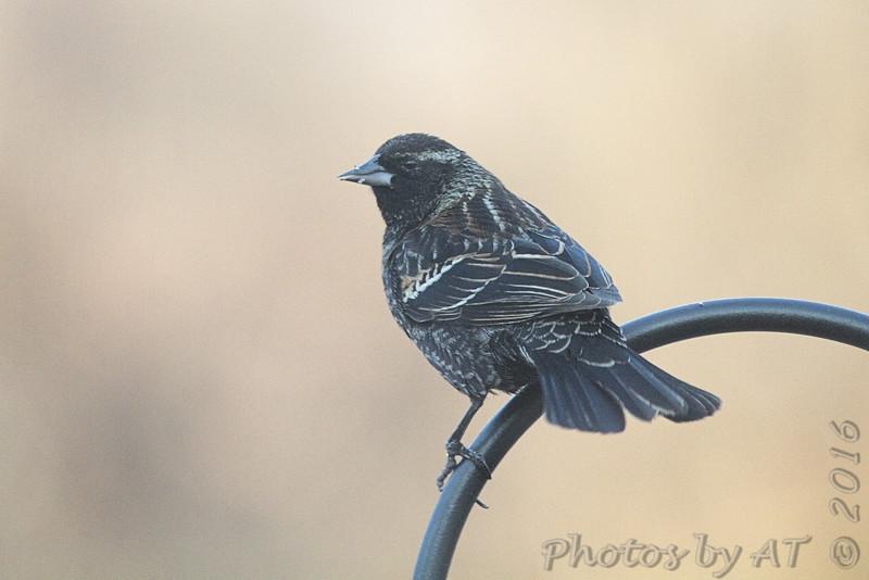 Red-winged Blackbird <br /> Bridgeton, MO <br /> 2/12/16