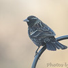 Red-winged Blackbird <br /> Bridgeton, MO <br /> 2/12/16