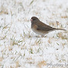 Dark-eyed Junco <br /> Bridgeton, MO <br /> 2/09/16
