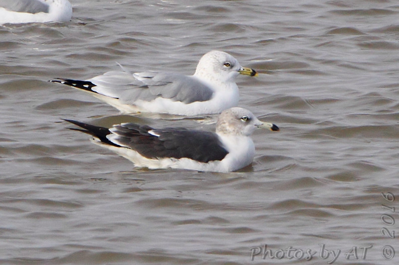 Black-tailed Gull <br /> and Ring-billed Gull<br /> Carlyle Lake, Illinois