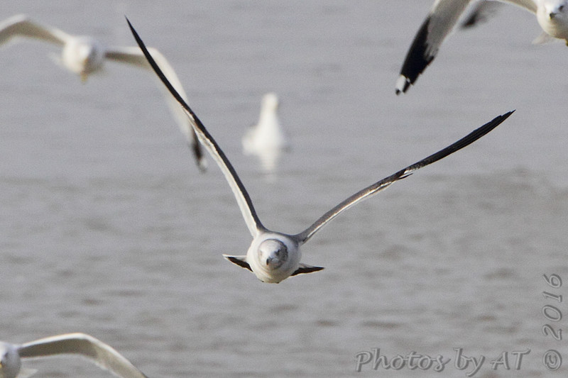 Black-tailed Gull <br /> Carlyle Lake, Illinois