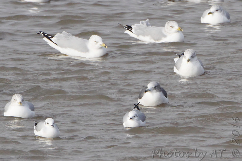 Black-tailed Gull <br /> Ring-billed and Bonaparte's Gull<br /> Carlyle Lake, Illinois