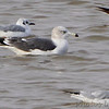 Black-tailed Gull <br /> and Bonaparte's Gulls <br /> Carlyle Lake, Illinois