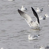 Black-tailed Gull <br /> and Ring-billed Gulls <br /> Carlyle Lake, Illinois