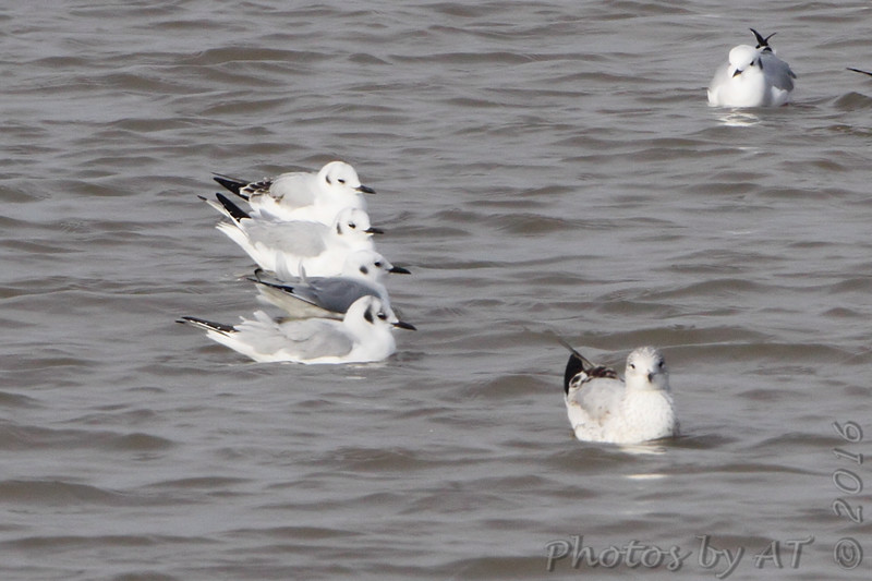 Bonaparte's Gulls<br /> Carlyle Lake, Illinois