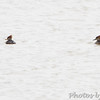 Hooded Mergansers <br /> Riverlands Migratory Bird Sanctuary
