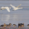 Trumpeter Swans <br /> and Greater White-fronted Geese  <br /> Ellis Bay <br /> Riverlands Migratory Bird Sanctuary
