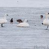 Tundra Swan on left <br /> Mallards and Trumpeter Swans <br /> Ellis Bay <br /> Riverlands Migratory Bird Sanctuary