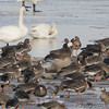 Snow Goose, Trumpeter Swans and <br /> Greater White-fronted Geese <br /> Ellis Bay <br /> Riverlands Migratory Bird Sanctuary