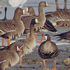 Lesser White-fronted Goose ? <br /> (crop from last photo)<br /> Ellis Bay <br /> Riverlands Migratory Bird Sanctuary